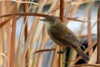 Australian Reed-Warbler Image