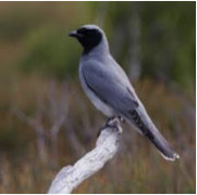 Black-faced Cuckoo-shrike  Image