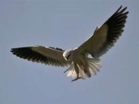 Black-shouldered Kite  Image