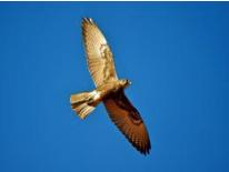 Brown Falcon Image