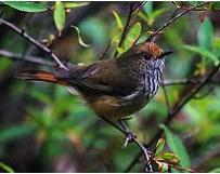 Brown Thornbill Image