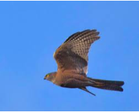Collared Sparrowhawk Image