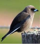 Dusky Woodswallow Image