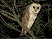 Eastern Barn Owl  Image