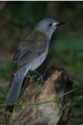 Grey Shrike-thrush Image