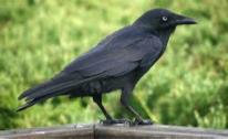 Little Raven  Image
