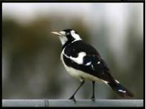 Magpie-lark Image