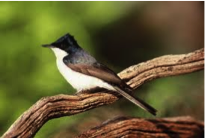 Restless Flycatcher Image
