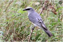 White-bellied Cuckoo-shrike  Image