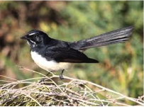 Willie Wagtail  Image