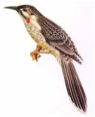 Red Wattlebird  Image