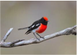 Red-capped Robin Image