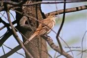 Rufous Songlark Image