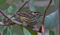 Speckled Warbler Image