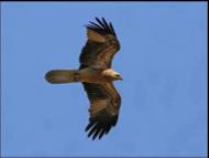 Whistling Kite Image