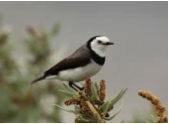 White-fronted Chat Image