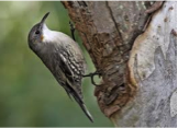 White-throated Treecreeper Image