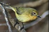 Yellow Thornbill Image
