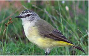 Yellow-rumped Thornbill Image